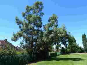 Whole eucalyptus - before - Brendan Tree Feller -  http://www.tree-feller.co.uk
