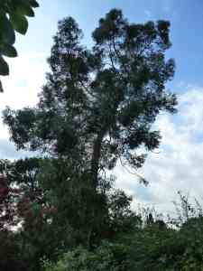 eucalyptus - after removal of overhanging limb - Brendan Tree Feller -  http://tree-feller.co.uk