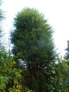 Cypress #1