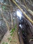Brendan Tree Feller - conifer close up