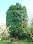 Brendan Tree Feller - conifer before